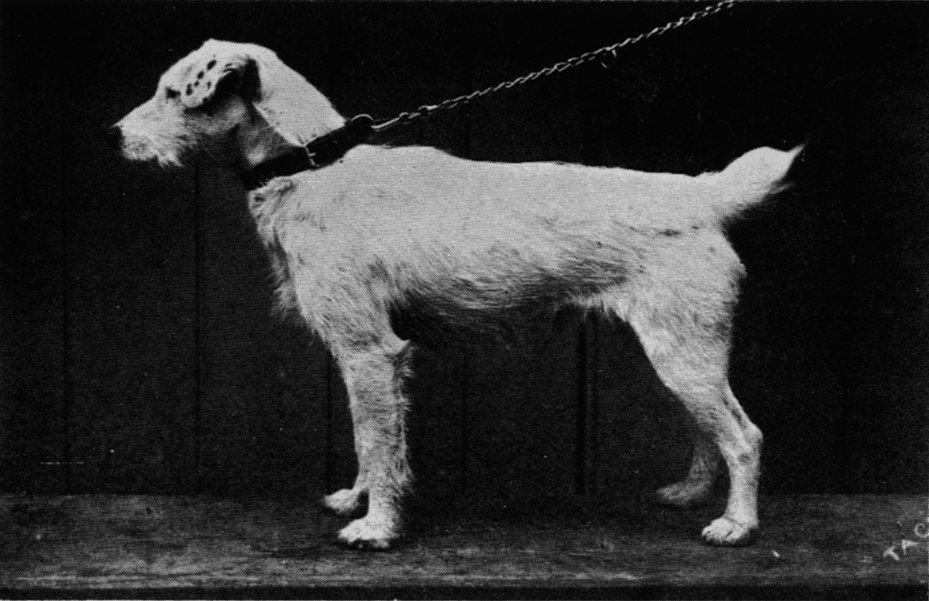 club fox terrier