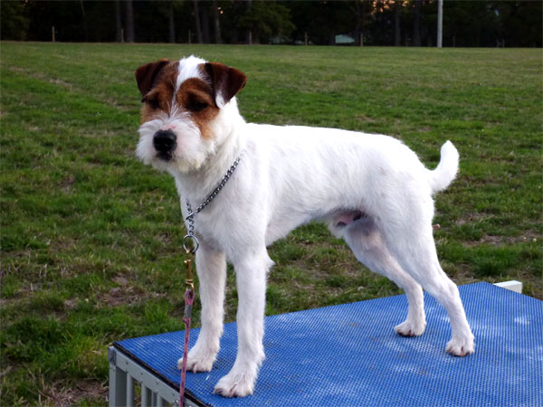True to type Parson Russell Terrier